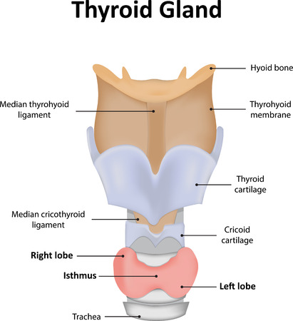 hormonas: Gl�ndula tiroides con etiquetas Foto de archivo