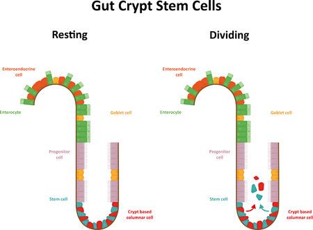 cripta: Gut cellule staminali Cripta Vettoriali