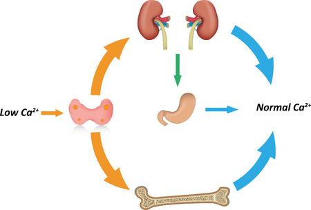 hormone: Calcium Homeostasis Illustration