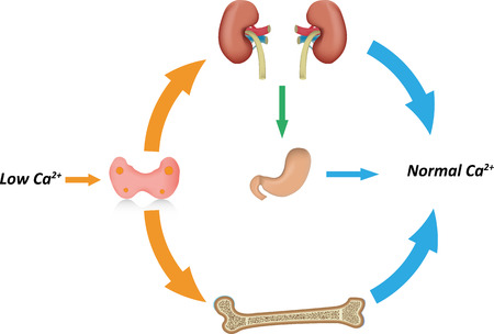 parathyroid: Calcium Homeostasis Illustration