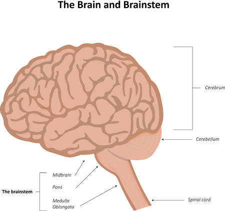 Brain and Brainstem Diagram Stock Photo