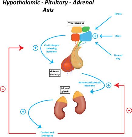 Hypothalamus hypofyse bijnier as Illustratie