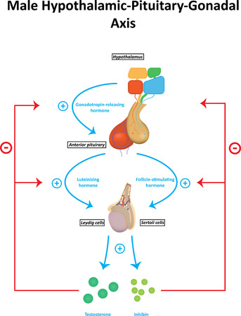 Male Hypothalamic Pituitary Gonadal Axis Diagram