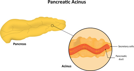 endocrinology: Pancreatic Acinus Labeled Diagram Illustration
