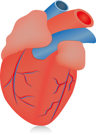 myocardium: The Human Heart