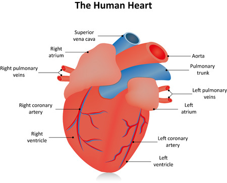 myocardium: Anatomical Heart Labeled Illustration