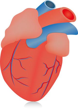 myocardium: Cuore anatomico