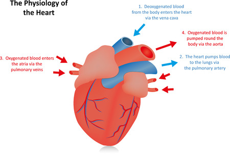 vena: The Physiology of the Heart