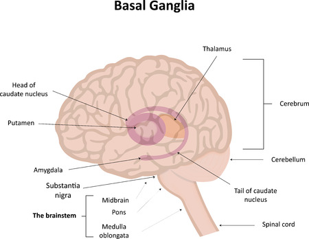 thalamus: Basal Ganglia in Brain Stock Photo