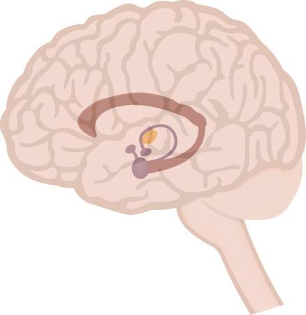 脳の大脳辺縁系