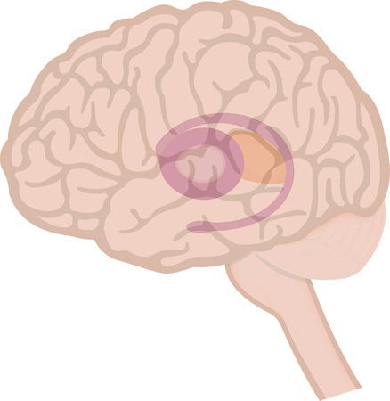 Basal Ganglia in Brain Illustration