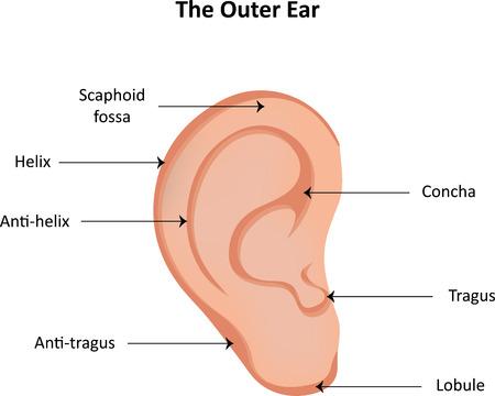 lobule: Ear Anatomy Labeled Diagram