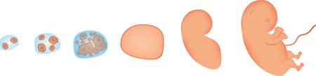 embrion: Desarrollo Embri�n