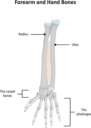 phalanx: Avambraccio e la mano Ossa reca il contrassegno Vettoriali