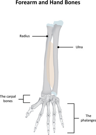 phalanges: Forearm and hand Bones Labeled