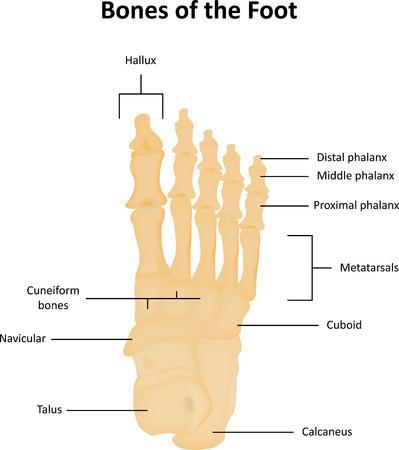 phalanx: Ossa tarsali del piede anatomico