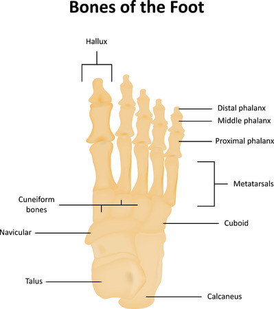 Tarsal Bones of the Foot Anatomical