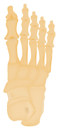 navicular: Tarsal Bones of the Foot Illustration