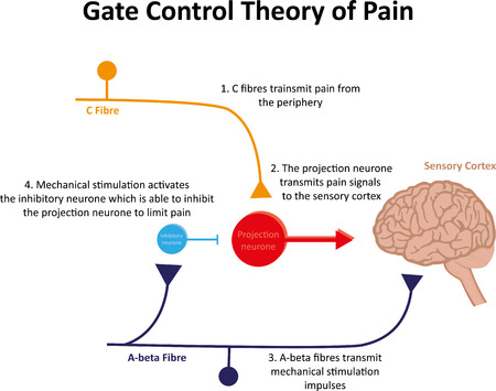 neurone: Gate Control Theory of Pain Explained Stock Photo