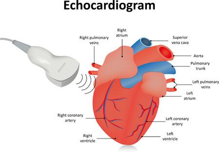 Echokardiogramm Standard-Bild - 43491818