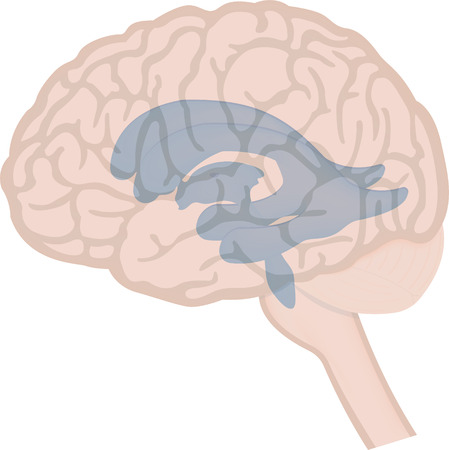 Ventricles in the Brain Illustration