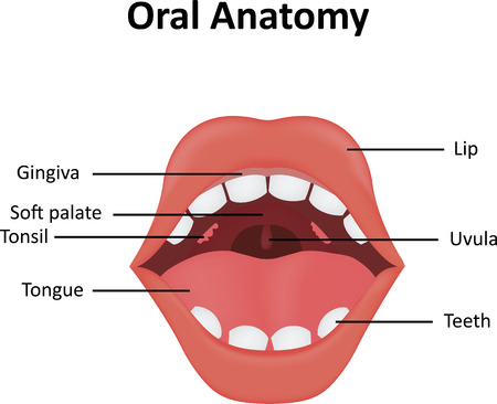 alimentary: Oral Anatomy