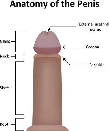 desnudo masculino: Anatomía del Pene Foto de archivo