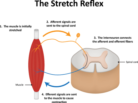 flexion: The Stretch Reflex Stock Photo