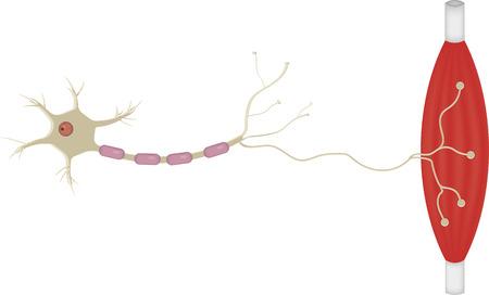 運動ニューロン 写真素材 - 44482694