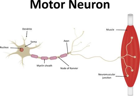 motor neuron: Motor Neurone Labeled