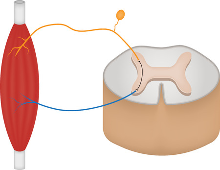 neuroscience: Reflex Arc