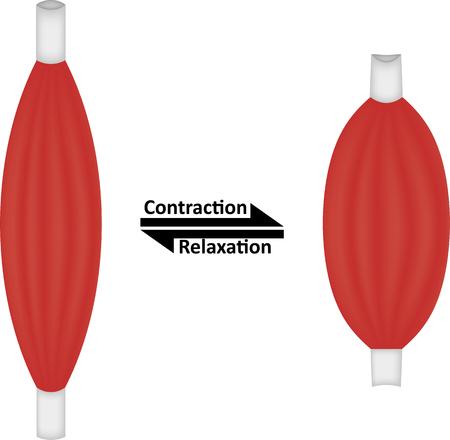 Contractie en ontspanning van de spieren Stock Illustratie