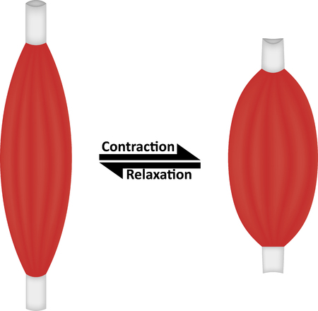 Contraction and Relaxation of Muscle