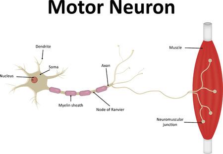 neurone: Motor Neurone Labeled
