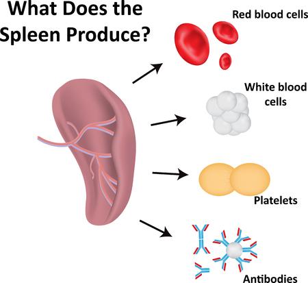 immunoglobulin: What Does the Spleen Produce