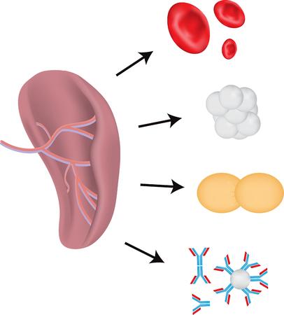 immunoglobulin: The Spleen Physiology