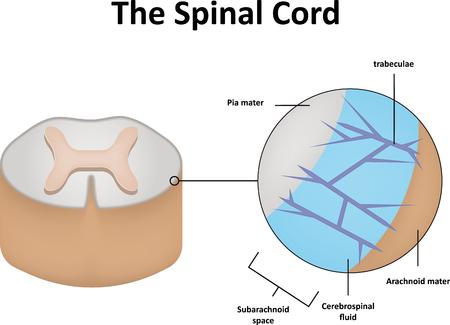 medula espinal: La Médula Espinal