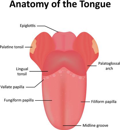 Anatomie van de tong en de geassocieerde Features