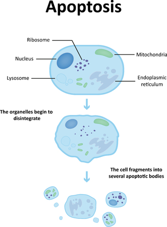 Lysosome Diagram Labeled 65007 Timehd