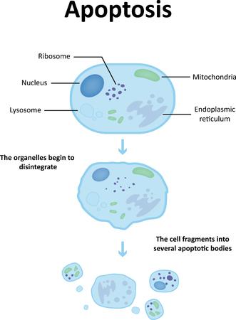 necrosis: Apoptosis Labeled Diagram Stock Photo
