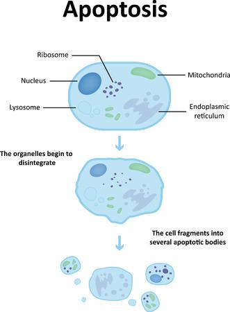 necrosis: Apoptosis Labeled Diagram Illustration