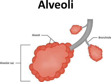 alveolos pulmonares: Diagrama Etiquetado alvéolos