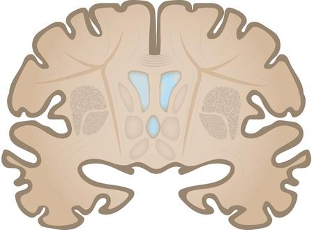 ventricle: Coronal Brain Slice Stock Photo