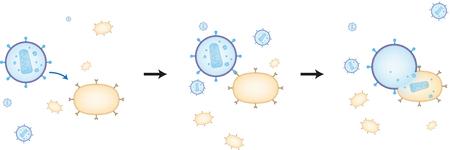lymphocyte: HIV Infection Process Illustration