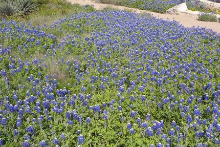 This is a field of bluebonnet in Ausin Texas.