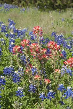 bluebonnet: This is some bluebonnet and indian paint brush wildflower in a fiel of Texas.