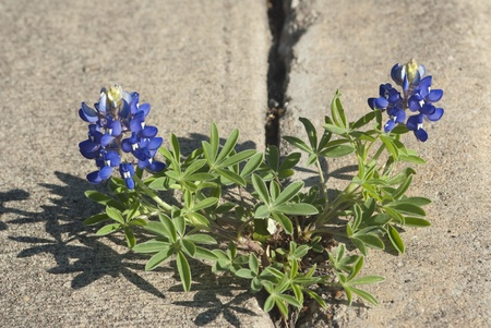 bluebonnet: This is a close-up of bluebonnet flower growing in cement crack.