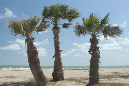 three palm trees: This is three palm trees on a beach of Corpus Christie Texas.