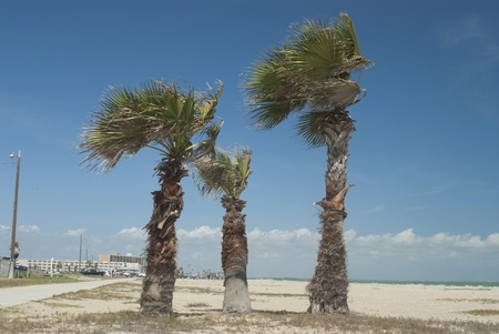 This is three palm trees on a beach of Corpus Christie Texas. photo