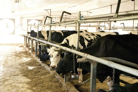 This is some cows in a row inside of a farm and eating.